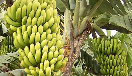 Banana-Plantation-e1358455197698