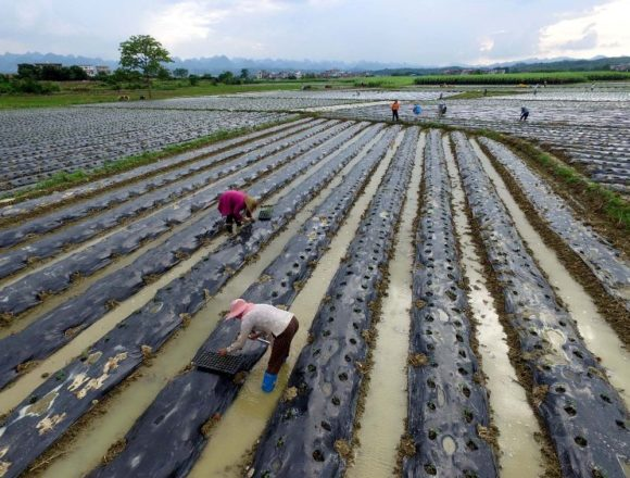 "(160822) -- BAISE, Aug. 22, 2016 (Xinhua) -- Farmers transplant tomato seedlings at a field in Napo Town, Baise City of south China's Guangxi Zhuang Autonomous Region, Aug. 20, 2016. Farmers are busy with sowing vegetable in Baise of Guangxi after ""Liqiu"", the first day of autumn on Chinese lunar calendar. (Xinhua/Wei Wanzhong) (zwx)"